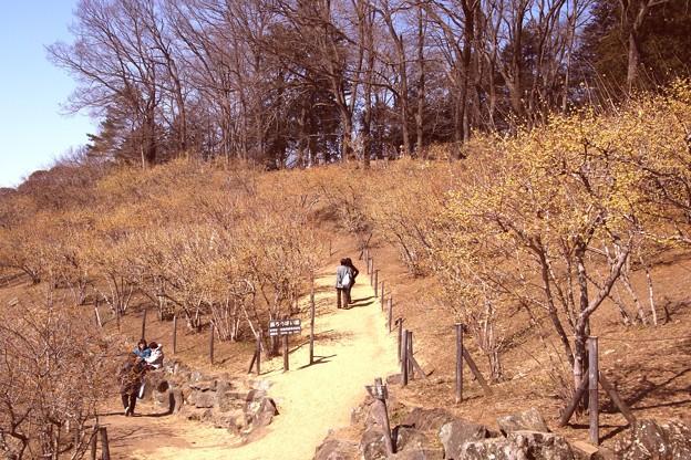 宝登山の蝋梅風景10