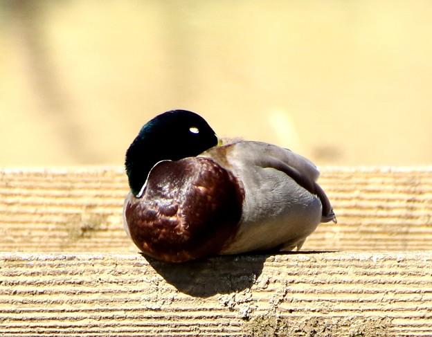 鴨の昼寝の時間