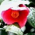 椿の花に雪