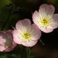 写真: 昼咲月見草三輪