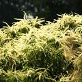 写真: 栗の花