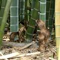 写真: 筍の成長 新竹