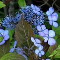 山紫陽花(黒姫)