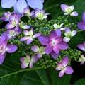 写真: ダンスパーテーの紫陽花