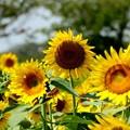 盛夏 ひまわりの花