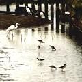 伊佐沼の野鳥