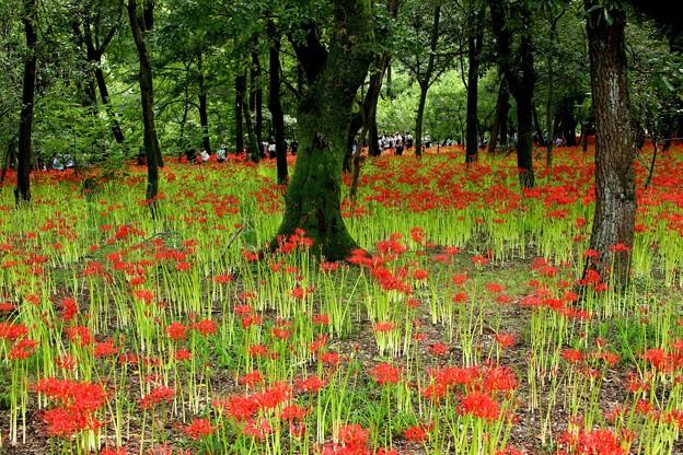 四分咲きの曼珠沙華風景