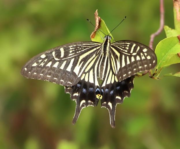 並揚羽蝶1