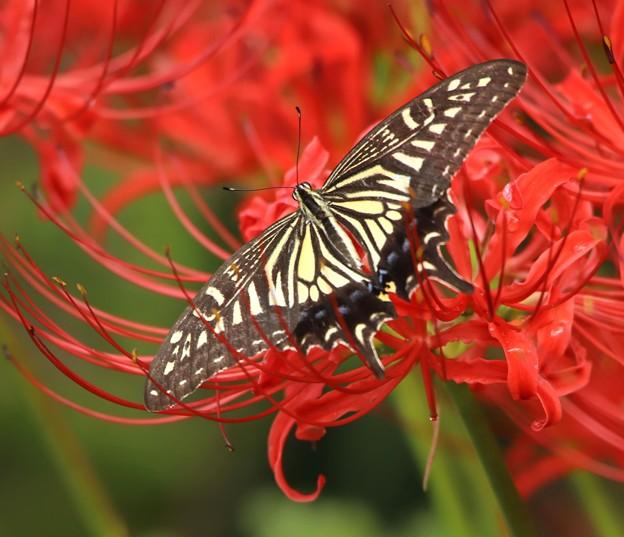 48ナミ揚羽蝶2