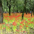 写真: 巾着田の曼珠沙華開花風景11