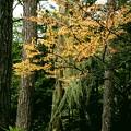 写真: 枝に空中で植物(上高地)。