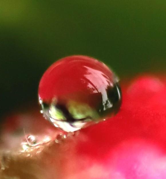 山茶花の雫玉