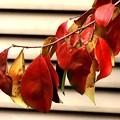カリンの紅葉