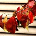 Photos: カリンの紅葉