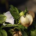 写真: 黒ホーズキ似 蕾・花・殻
