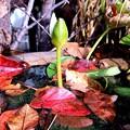落葉のなかの睡蓮の蕾