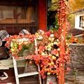物置小屋の蔦の紅葉
