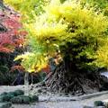 大銀杏と黄葉2