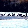Photos: 河鵜の塒