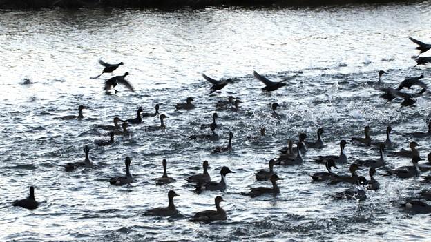 尾長鴨の群