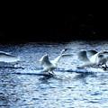 Photos: 小白鳥の着水風景2