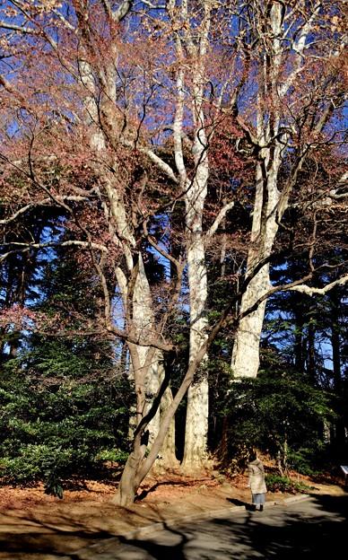 プラタナスの大木