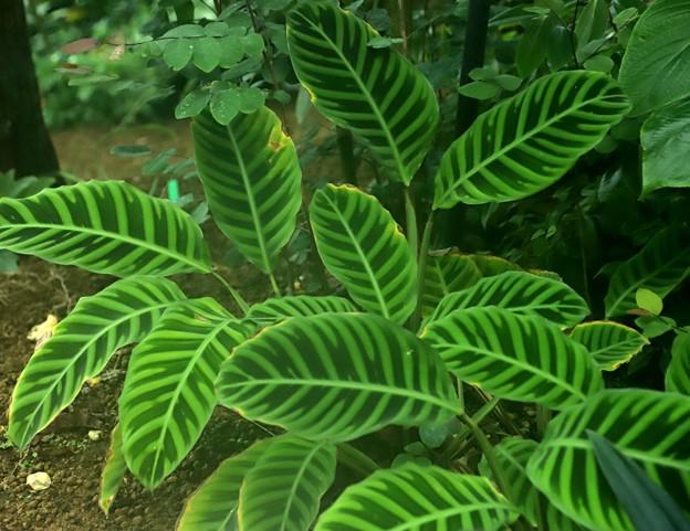 筋模様の葉植物(クワズイモ)