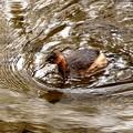 カイツブリ急ぎの泳ぎ