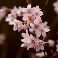 早咲きの櫻咲く
