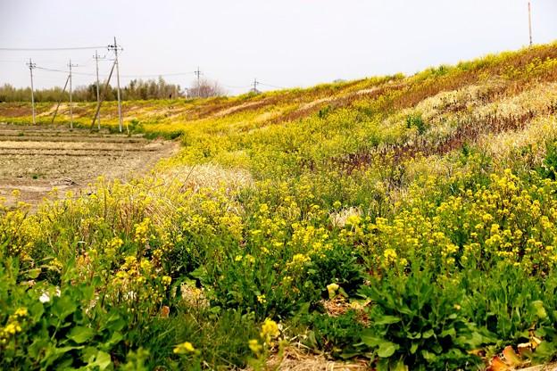 荒川土手の菜の花1