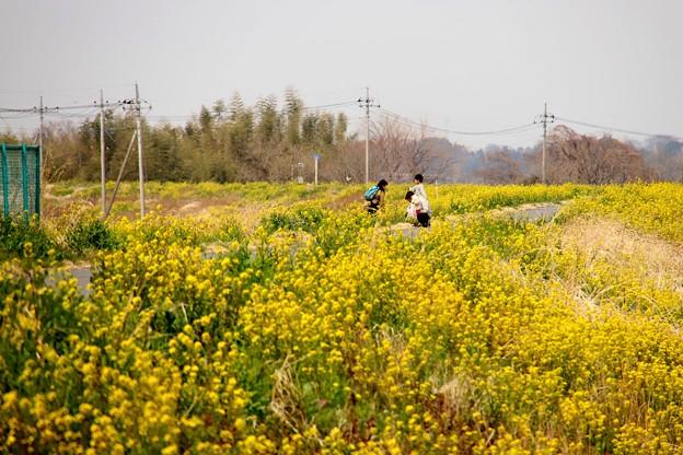 菜の花の荒川土手