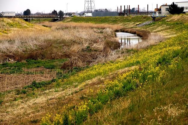 小畔川と菜の花7