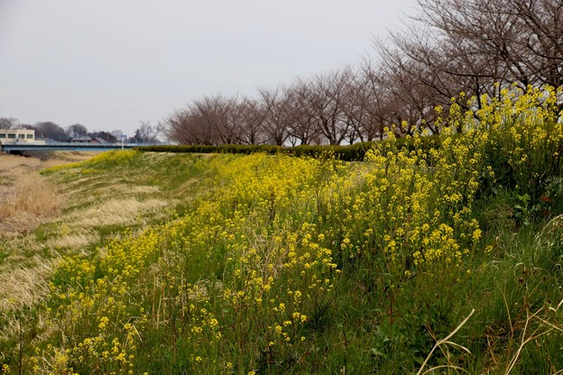 小畔川と菜の花8