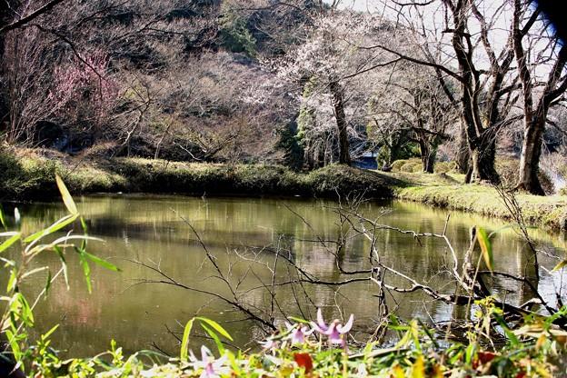 カタクリと桜咲く池風景