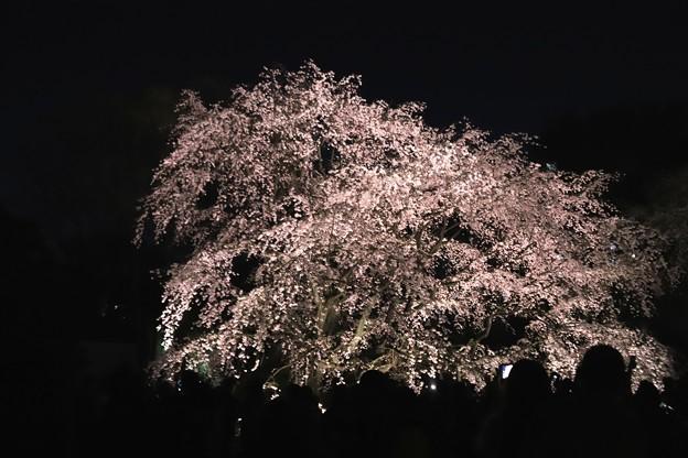 六義園 枝垂れ桜ライトアップ3