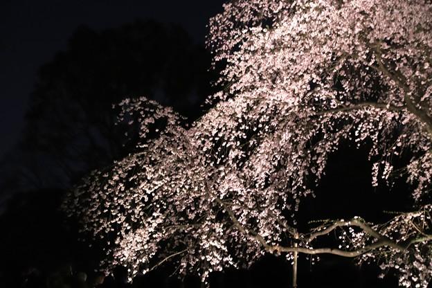 六義園 枝垂れ桜ライトアップ4
