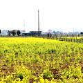 菜の花畑風景