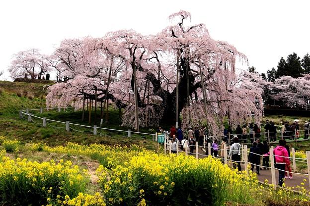 菜の花と三春滝桜2