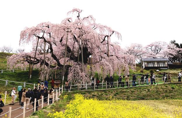 菜の花と三春滝桜3