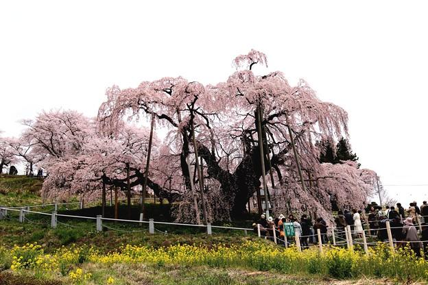 菜の花と三春滝桜4