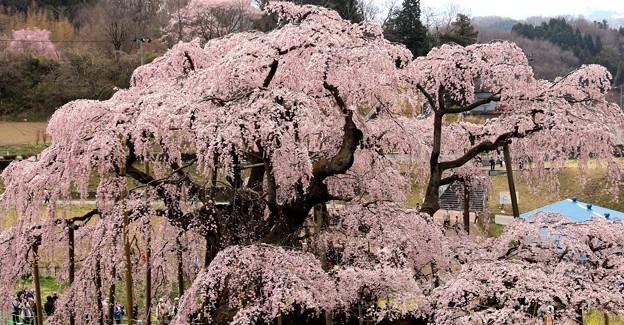 尊厳 三春滝桜