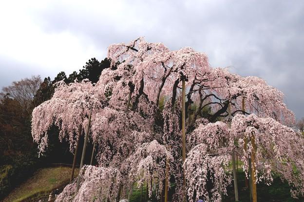 圧巻 三春の滝桜