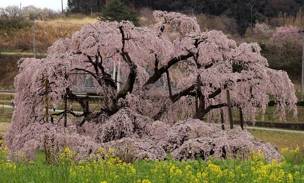 威厳 三春滝桜