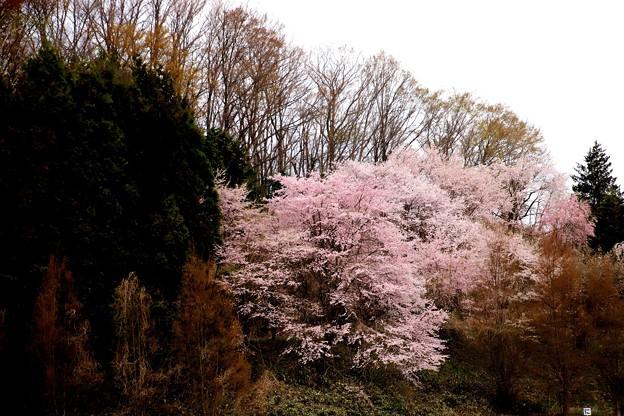 駐車場よりの林の桜