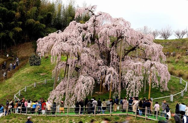 三春滝桜8