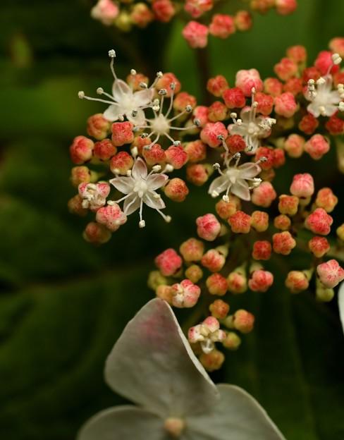 山紫陽花 曙の小さな花