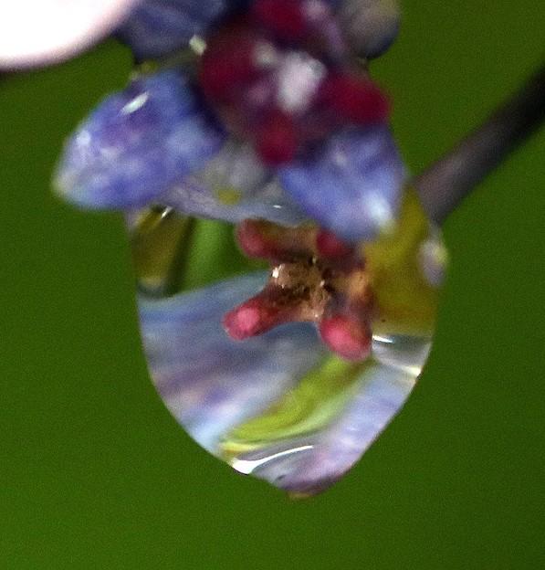 額紫陽花の雫模様