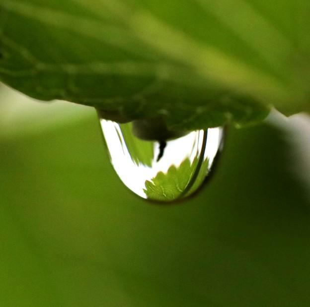 桑の葉の雫