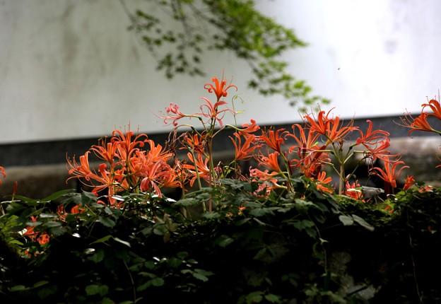 三千院に咲く百合