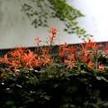 Photos: 三千院に咲く百合